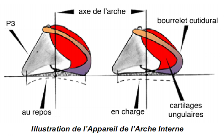 Arche interne