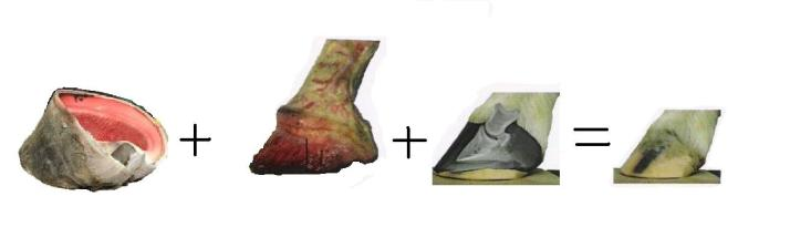 Etude du pied