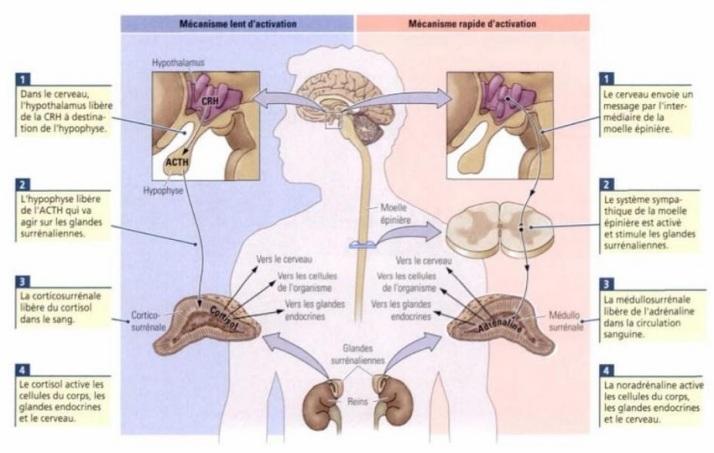 STRESS-Cerveau et comportement-2