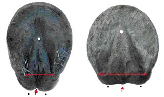 Hoof comparison photo