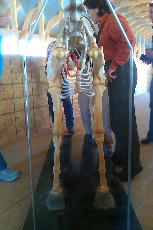 skeleton1strib