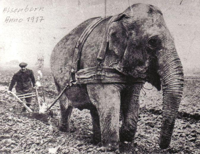 éléphant labours