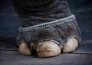 elephant foot india