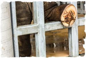 elephant-pedicure-4-999-framed
