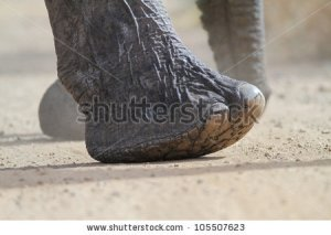 stock-photo-african-elephant-foot-105507623
