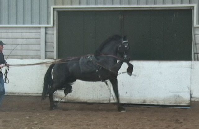friesian-harness-training-640x414