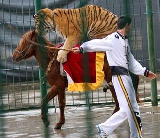 tigerhorse-1