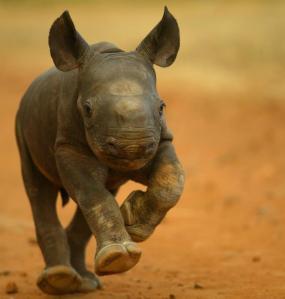 bébé rhino