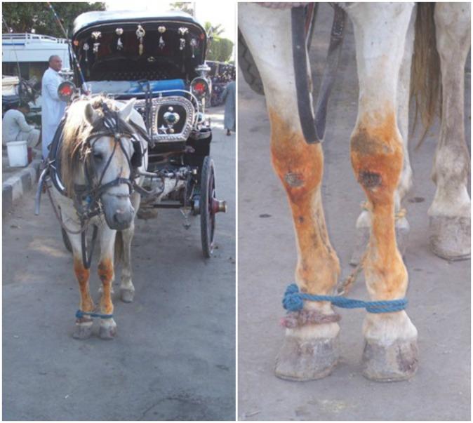Horse-Knees