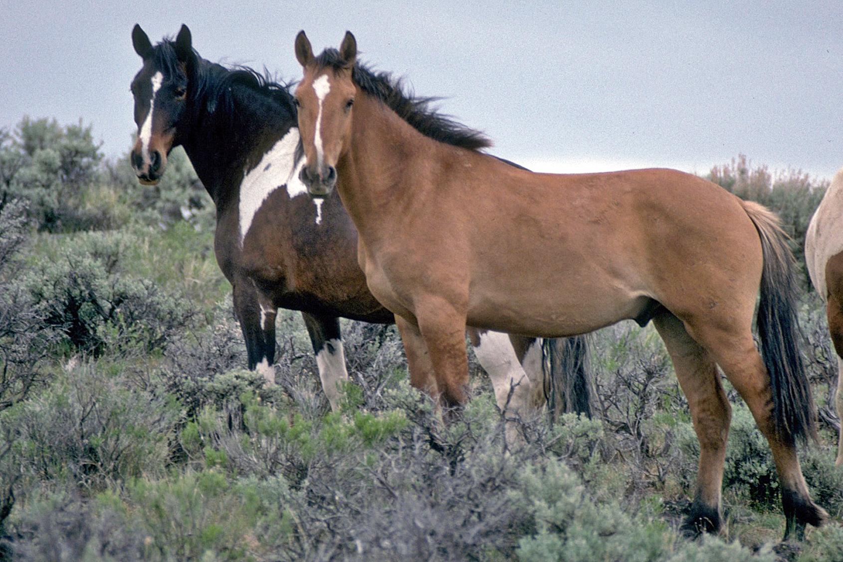 Wild_Horses_on_Steens_Mountain_(6983016963).jpg